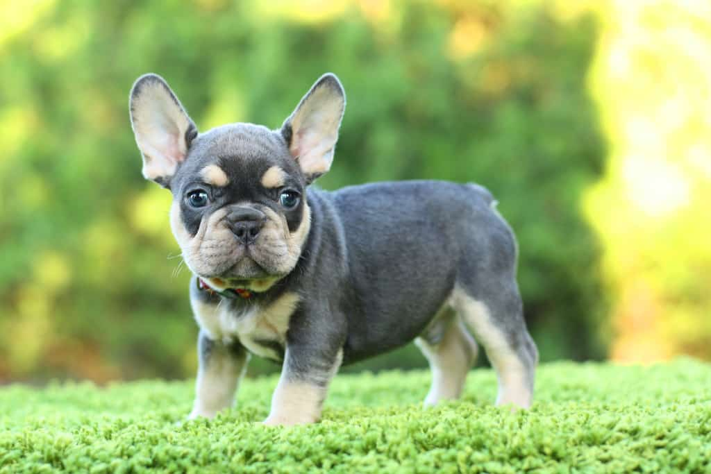 How Much Does It Cost To Adopt A Frenchie Tom Kings Kennel