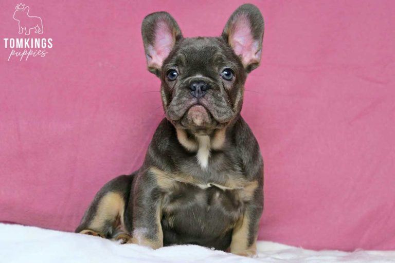 Blue and tan color Frenchie at TomKings Puppies
