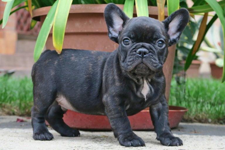 Black_brindle_Frenchie_TomKings_Puppies