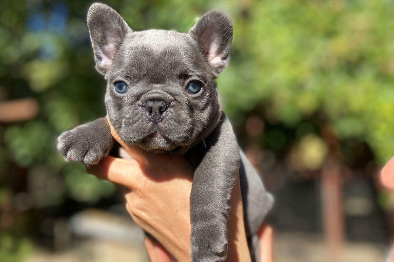Lilac_Frenchie_TomKings_Puppies