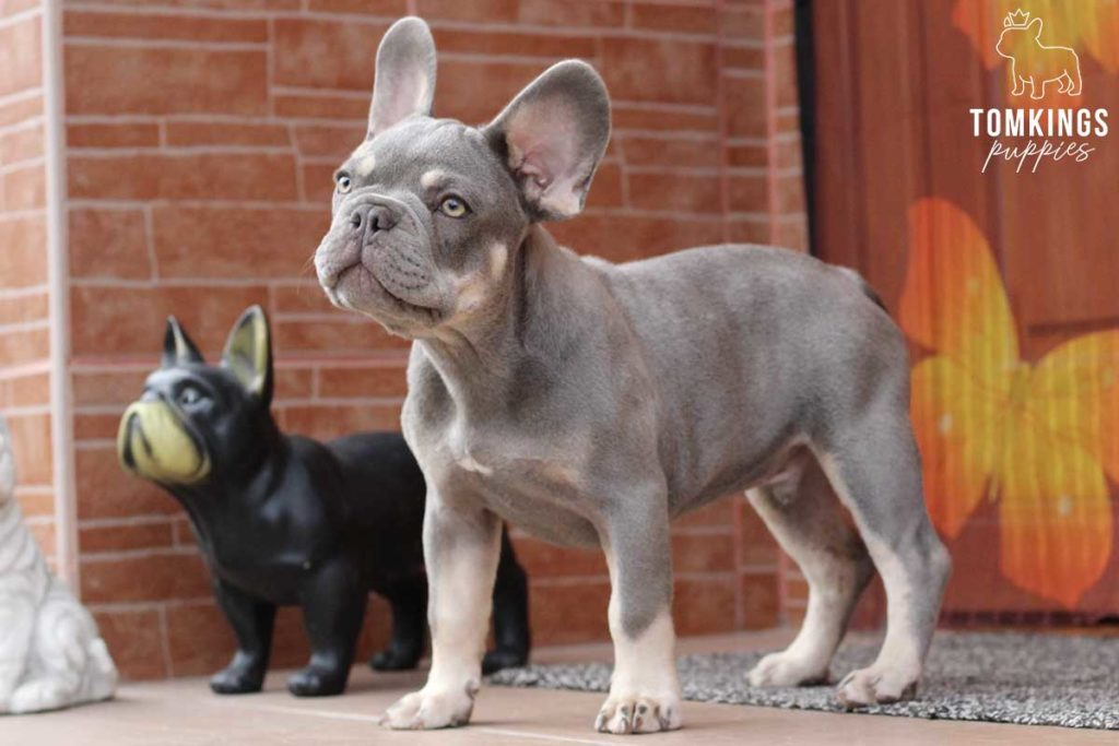 What do you need to know about Frenchie supplements? - TomKings Blog