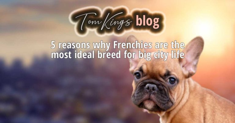 5 reasons why Frenchies are the most ideal breed for big city life - TomKings Blog
