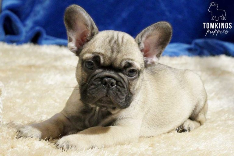 Ardell, available French Bulldog puppy at TomKings Puppies
