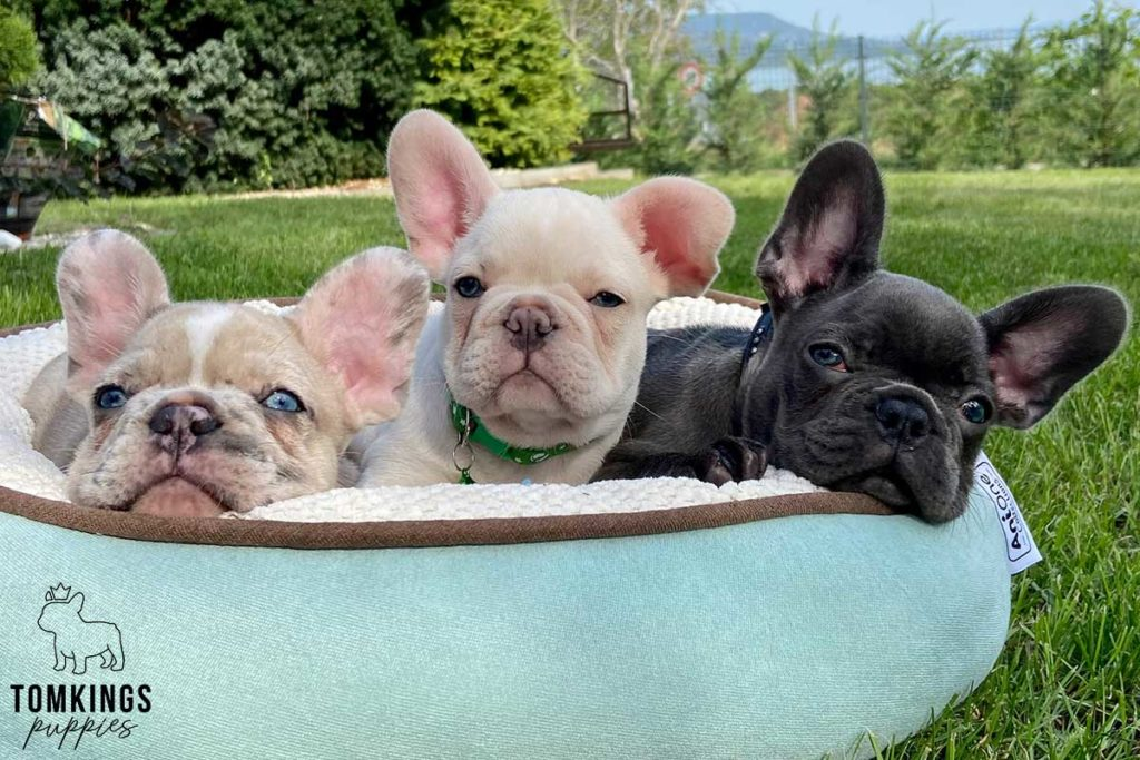 Brio, available French Bulldog puppy at TomKings Puppies