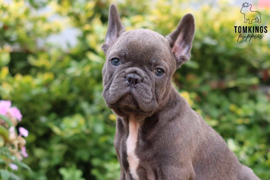 Hayes, available French Bulldog puppy at TomKings Puppies