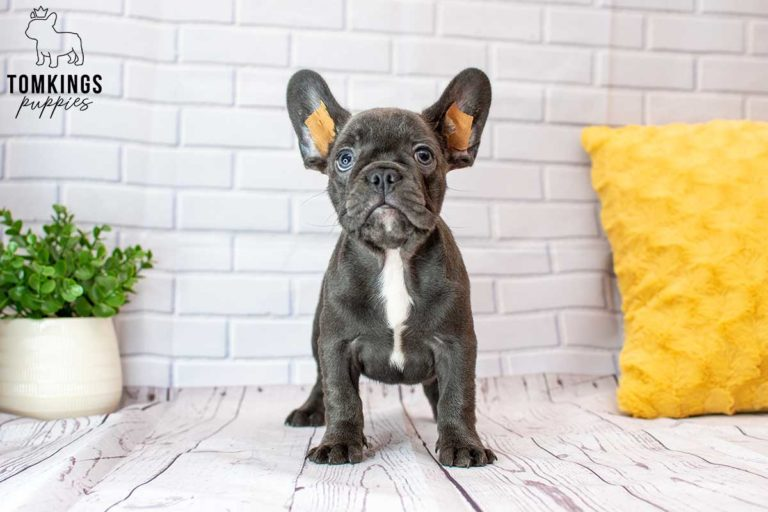 Rayna, available French bulldog puppy at TomKings Puppies