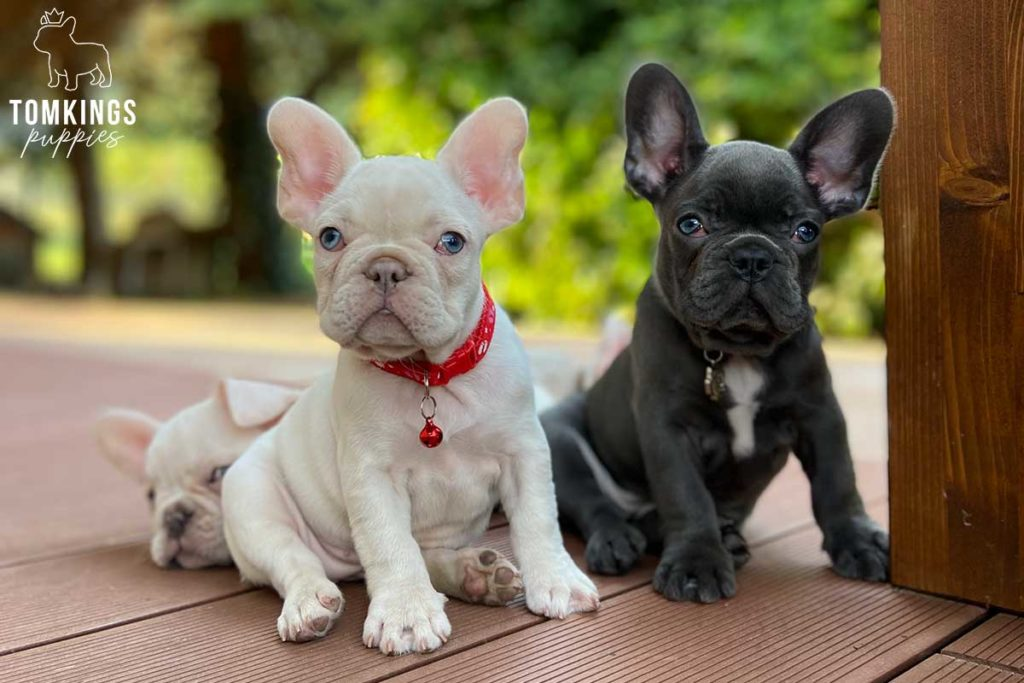 TomKings Blog - Frenchie Separation Anxiety