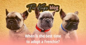When is the best time to adopt a Frenchie? - TomKings Blog