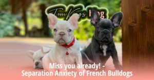 Miss you already! - Separation Anxiety of French Bulldogs - TomKings Blog