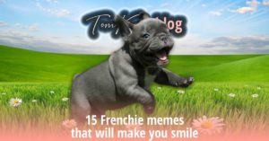 15 Frenchie memes that will make you smile - TomKings Blog