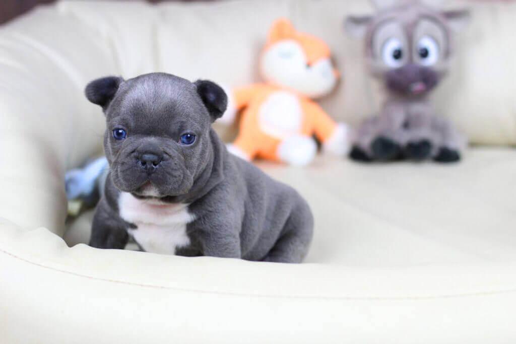 Real French Bulldog puppy
