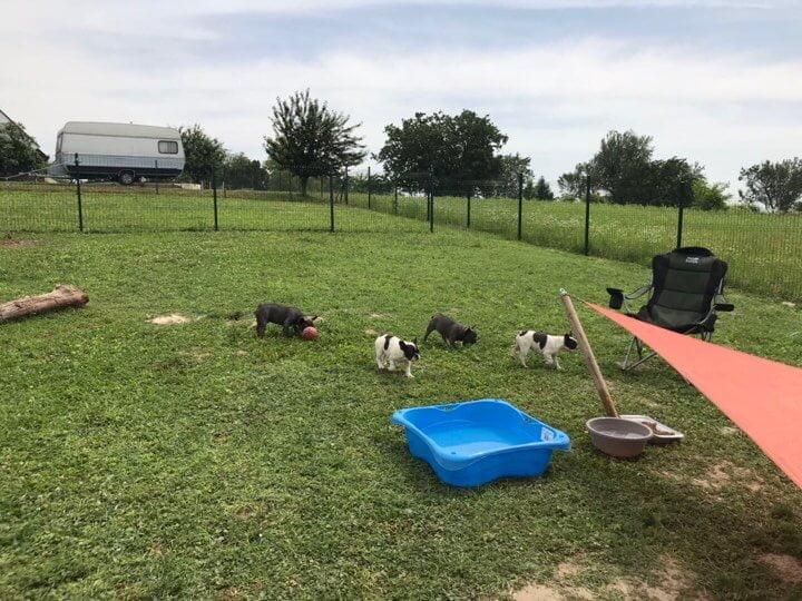 French Bulldog farm