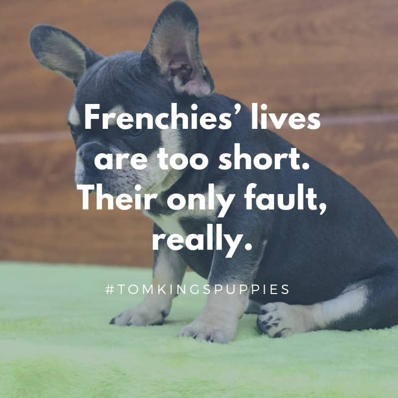 10 best Frenchie quotes - Tom Kings Kennel