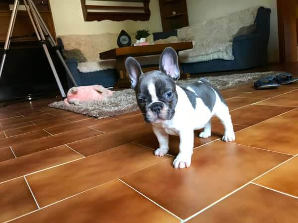 Cute Frenchie in the house.